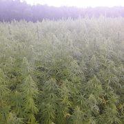 cannabis cbd farm