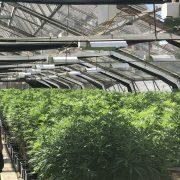 cannabis cbd buds tent